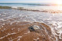 Large  jellyfish lies on the shore of a beach. Stock Photos