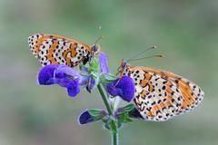 Macro photography of Melitaea didyma on flower Stock Photos