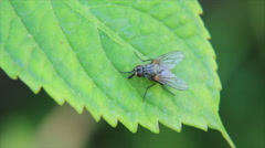 Housefly on leaf Stock Footage