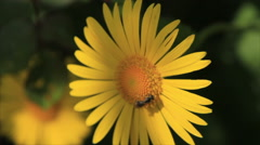 Wild bee on camomile Stock Footage