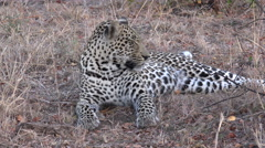 African leopard resting in the shade Stock Footage