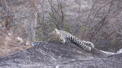 African leopard resting on a rock Stock Footage