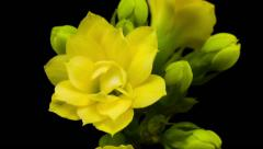 Time lapse of a yellow flower Kalanchoe blossoming on black background Stock Footage