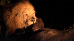 Male lion feeding on cape buffalo Stock Footage