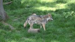Wolves social behavior in sunny grassy landscape Stock Footage