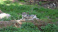 Wolf sitting on tree trunk in grassy landscape Footage