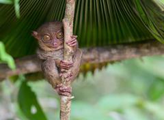 Smiling cute tarsier sitting on a tree,  Bohol island, Philippines Stock Photos