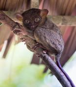 Smiling cute tarsier sitting on a tree,  Bohol island, Philippines - stock photo