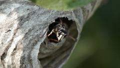 Hornets at Nest Entrance - Close up - stock footage