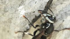 Hornet Building Nest 1 Stock Footage