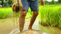 The cultivation of traditional rice agriculture, Thailand. Stock Footage