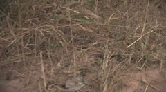 Large Trail of Fire Ants in Kitwe, Zambia - stock footage