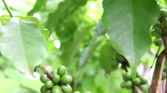 Green arabica coffee beans on trees, Thailand Stock Footage