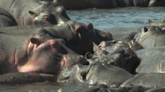Hippos in the Chobe National Park, Botswana Stock Footage