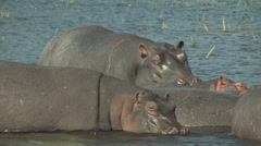 Stock Video Footage of Hippos in the Chobe National Park, Botswana
