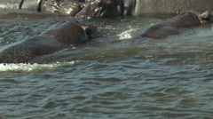 Hippos in the Chobe National Park, Botswana - stock footage
