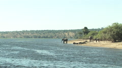 Elephants Resting on the Edge of the Water in the Chobe National Park BOTSWANA Stock Footage