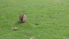 Gray rabbit cleaning fur and relaxing in nature 4K 2160p UltraHD footage - bu Stock Footage