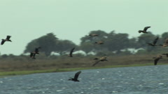 Flock of Birds Fly Fast in the Chobe National Park BOTSWANA Stock Footage