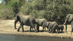 Stock Video Footage of Elephants graze and water in the Chobe National Park, Botswana