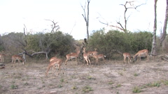 Antelope in the Chobe National Park, Botswana Stock Footage