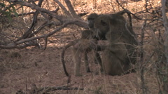 Baboons in the South Luangwa National Park, Zambia Stock Footage