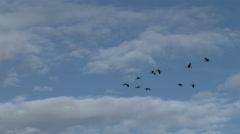 Geese, Canada Geese, Bird, Birds, Fly, Flight. Flying Stock Footage
