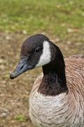 Canada Goose Portrait - stock photo