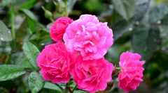 Fairy rose in the wind - stock footage