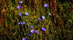 Closeup of blue cornflowers Stock Footage
