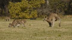 Eastern Grey Kangaroo Courting Female Kangaroo Stock Footage