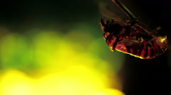 Exuvia of Cicada on the twig, sound, pan Stock Footage