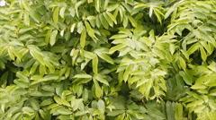 Leaves of Climbing Ylang-Ylang, Manorangini, Hara-champa, Kantali champa Stock Footage