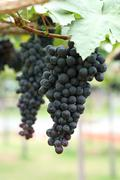 grapes fruit in farm viticulture of agricultural - stock photo