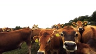 Stock Video Footage of Face to face with cows