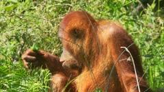Orang Utan - Pongo Stock Footage
