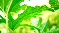 Shrubs flowering. Succulent young zucchini. - stock footage