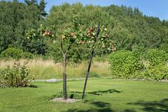 Young apple tree with fruits - stock photo