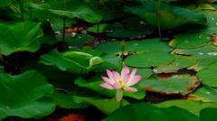 Lotus flower (Nelumbo nucifera) moving by waves Stock Footage