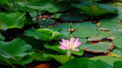 Lotus flower (Nelumbo nucifera) moving by waves Stock Footage