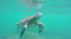 Green Sea Turtle Underwater coming up for air in the Hawaiian Islands. Stock Footage