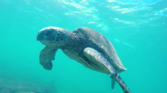 Hawaiian Green Sea Turtle Swimming Underwater. Stock Footage