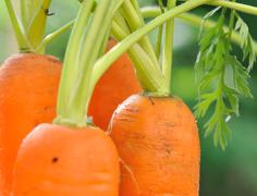 close on carrots in garden - stock photo