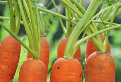 close on few carrots in garden - stock photo