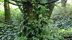 Ivy Close Up - stock footage
