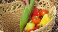Stock Video Footage of Hand of senior female gardener putting fresh corn cobs in basket with vegetables