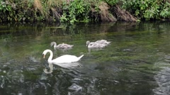 Swans and Cygnets on a River - stock footage