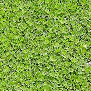 Duckweed covered on the water surface Stock Photos