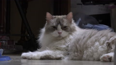 Fluffy Cat Laying On Floor Relaxing Stock Footage