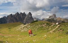 Cow on meadow, Dolomites - stock photo